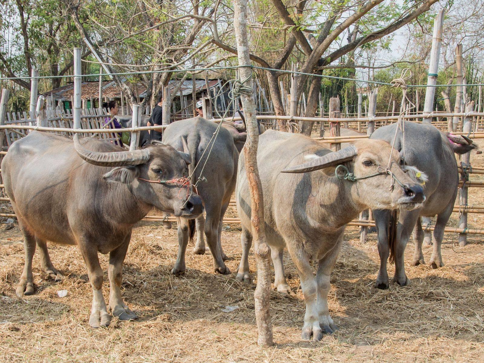 Explore & Enjoy Local Food at the Kaad Nguo(Cattle and Flea Market), Sanpatong, Chiangmai