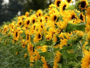 Explore Sunflower Field & Vineryard at Khao Yai National Park