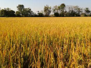 Happy farming (Ban Rai Han Sa)