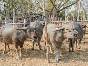 Explore & Enjoy Local Food at the Kaad Nguo(Cattle and Flea Market), Sanpatong, Chiangmai