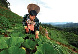 Hmong Vegie Farm