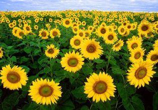 Tour Saraburi to Sunflower Fields In One Day