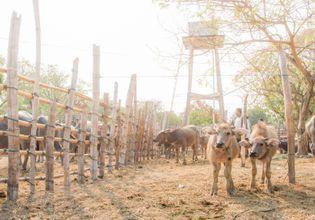 Local Cow Flea Market