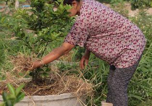 lime planting