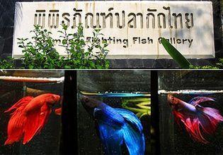 Siamese Fighting Fish Gallery