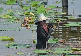 Lotus picking