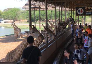 Giraffes feeding