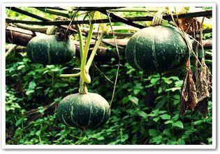 Japanese Pumpkins
