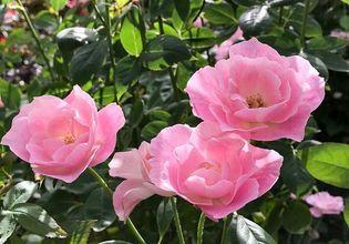 The Royal Rose Garden Chiang Mai