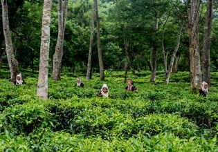 An off-the-beaten path with one of the most authentic tea plantations in Chiang Mai