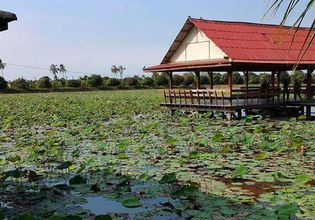 Large lotus ponds where white and red lotus blooms are cultivated.