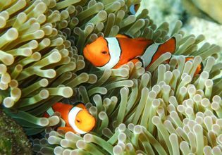 See some crown fish family (Nemo)