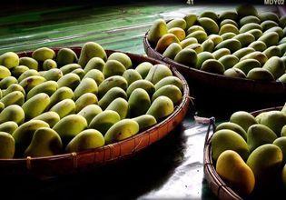 Fresh Mango from our organic garden
