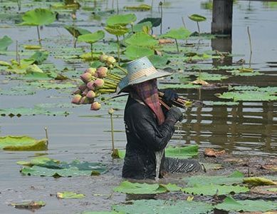Lotus picking