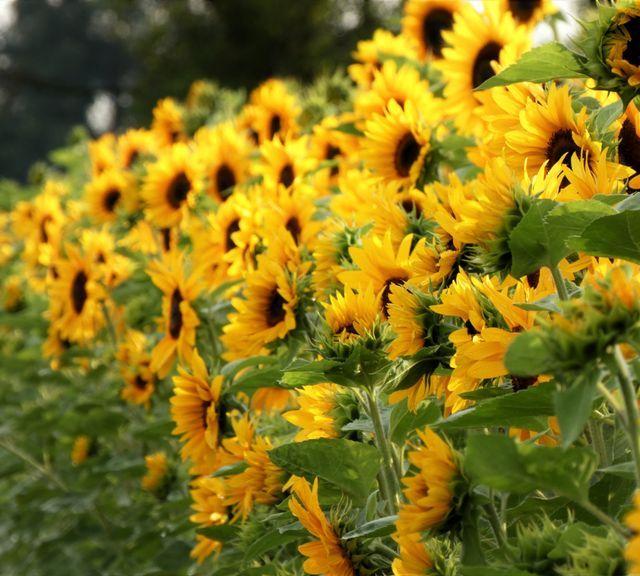 Explore Sunflower Field & Vineryard at Khao Yai National Park