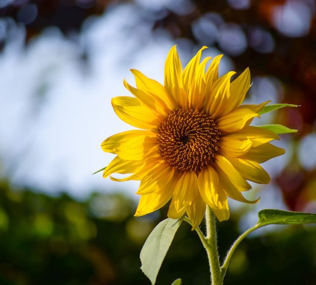 Explore Sunflower Field & Flower Garden at Khao Yai National Park